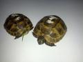 Závodní želváci