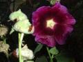 Slézová růže